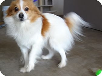 Fergie Adopted Dog 060420131 Richland Hills Tx Papillon
