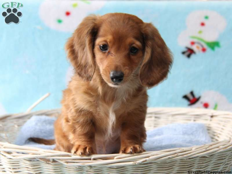 Archie dachshund puppy for sale in pennsylvania