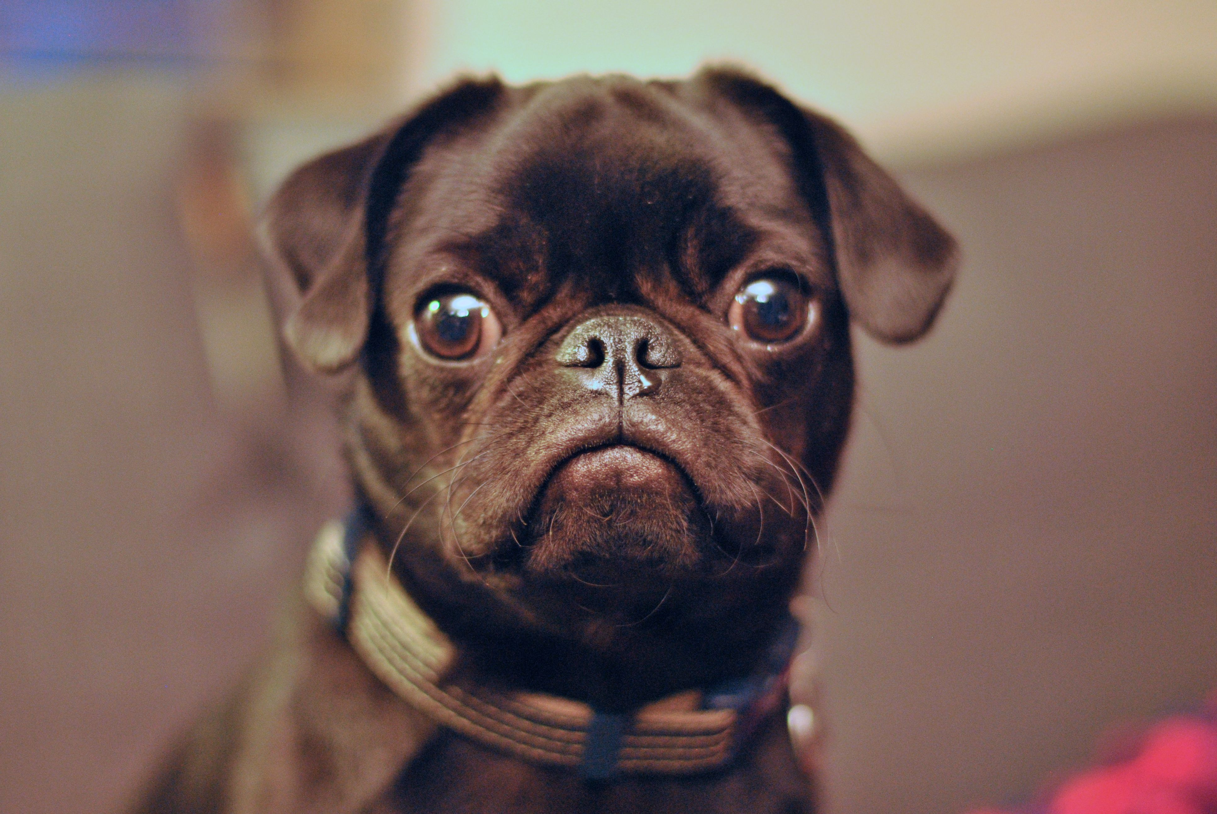 Meet Addy Black Pug Puppies Pug Puppies Cute Pugs