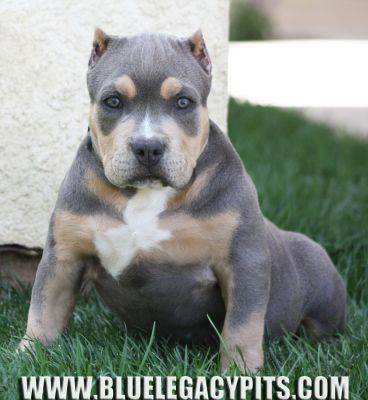 Blue Legacy Pits Bully Blue Pitbull Puppies For Sale Tri Color