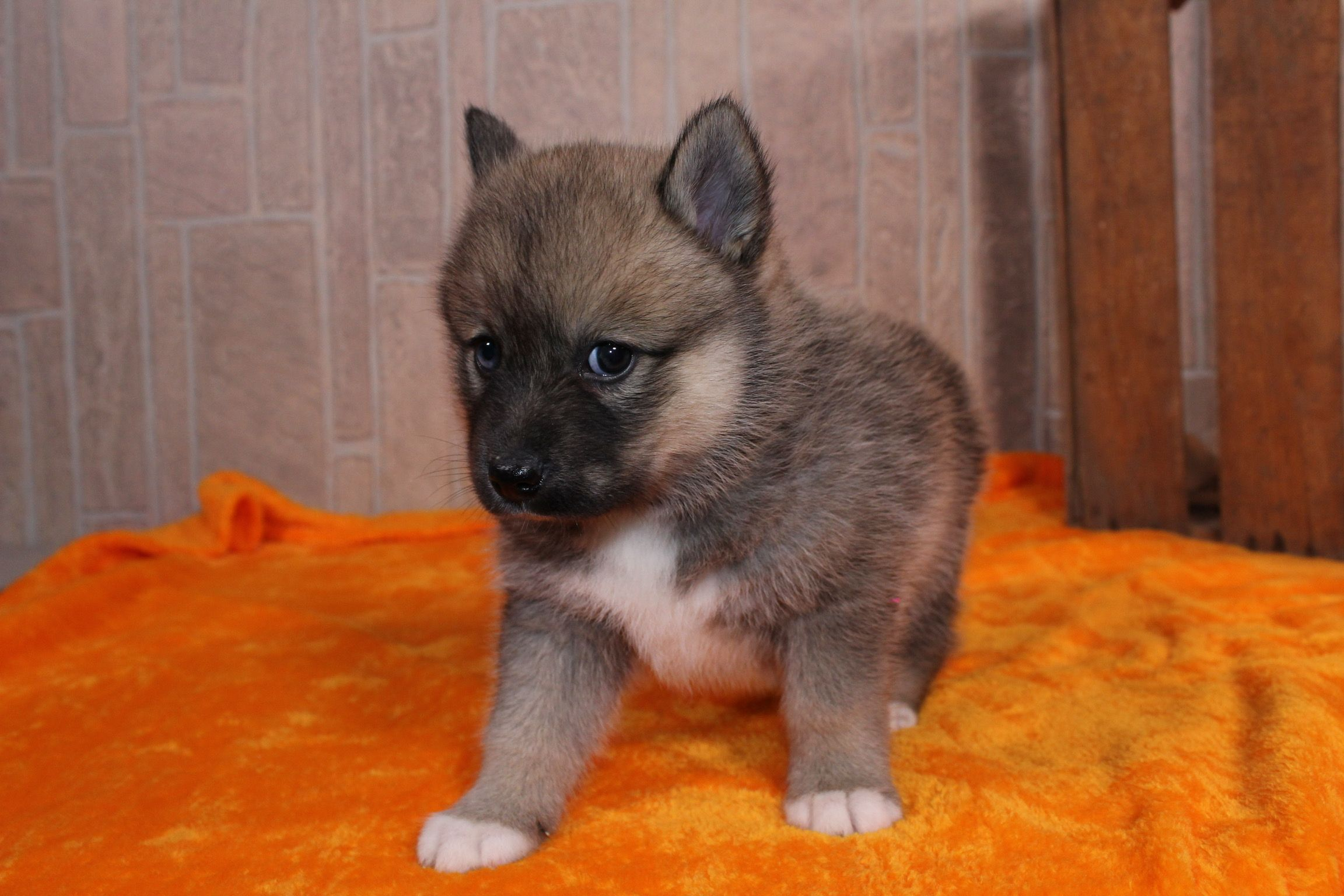 Alex A Family Raised Ckc Male Pomsky Pupper In Nappanee Indiana Find Cute Pomsky Puppies And Responsible Pomsky Br Puppies Pomsky Puppies Cute Baby Animals