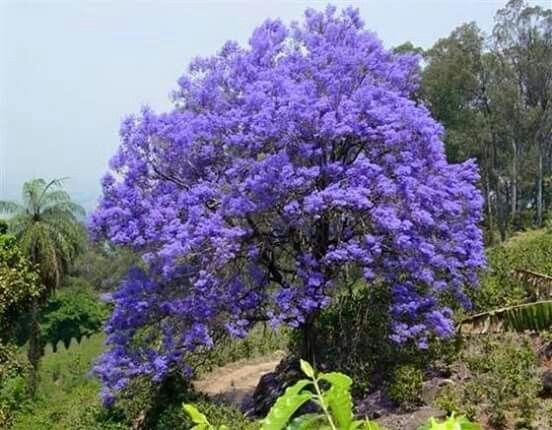 Bello Flamboyan Azul, desde Cidra, PR