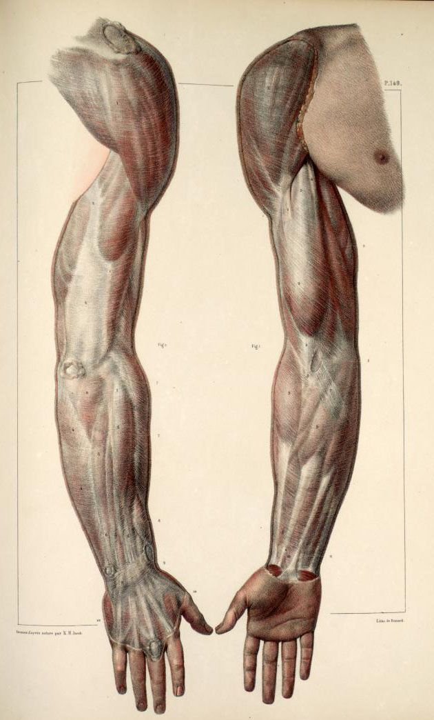 Inspirational Artworks: ANATOMY IMAGES arms muscles anterior ...
