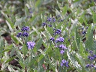 Bluebeard - Caryopteris First Choice