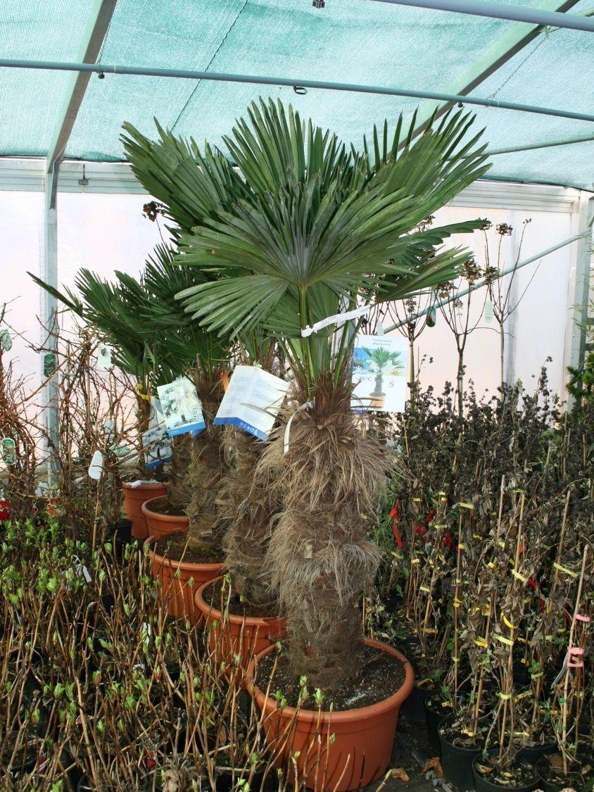 Palmen Fur Den Garten Winterhart Entwurfe Die Sie Inspirieren Von