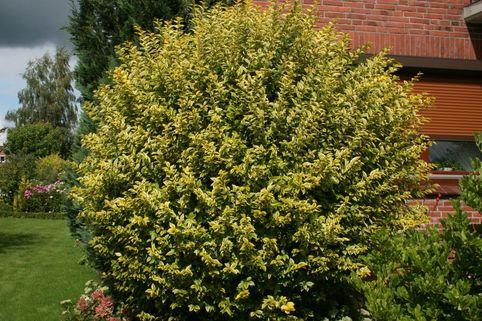 Goldliguster Aureum Ligustrum Ovalifolium Aureum Baumschule Horstmann Umpflanzen Vogel Im Garten Baumschule Horstmann