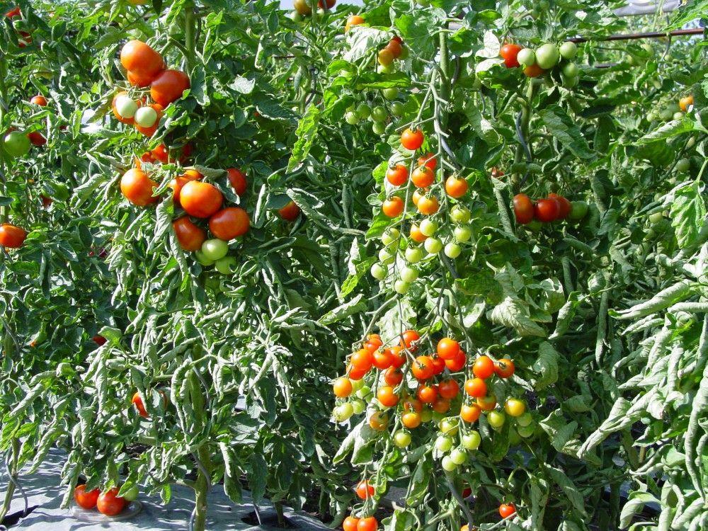 tomatenkrankheiten erkennen und vorbeugen von kraut und braunf ile ber mehltau und schimmel. Black Bedroom Furniture Sets. Home Design Ideas