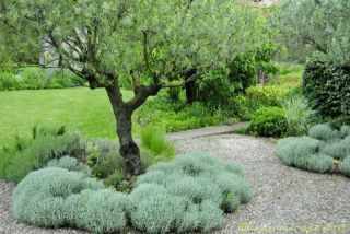 Landscaping With Olive Trees   Google Search