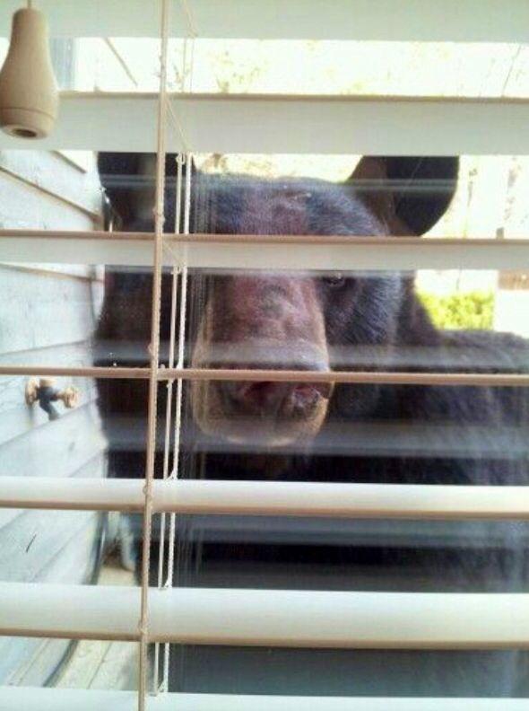 Bear gatlinburg tn looking through window