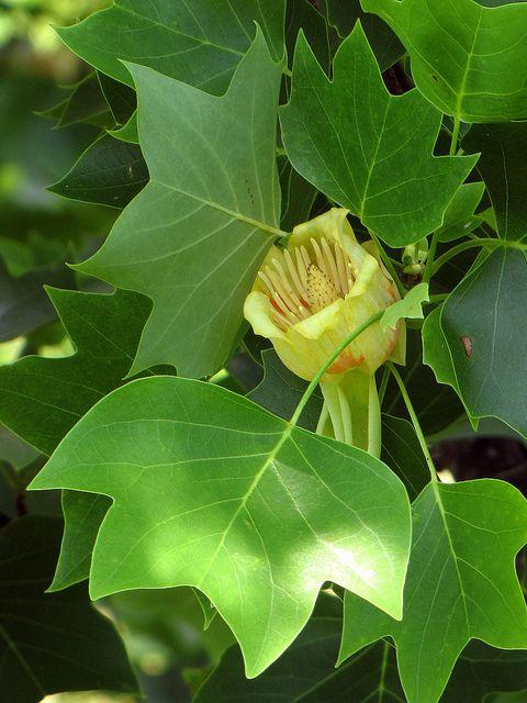 Tulip Poplar Kentucky State Tree Tulip Poplars Tulip Poplar Tree