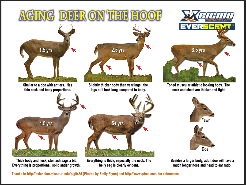 Updates to our almost famous aging deer on the hoof poster