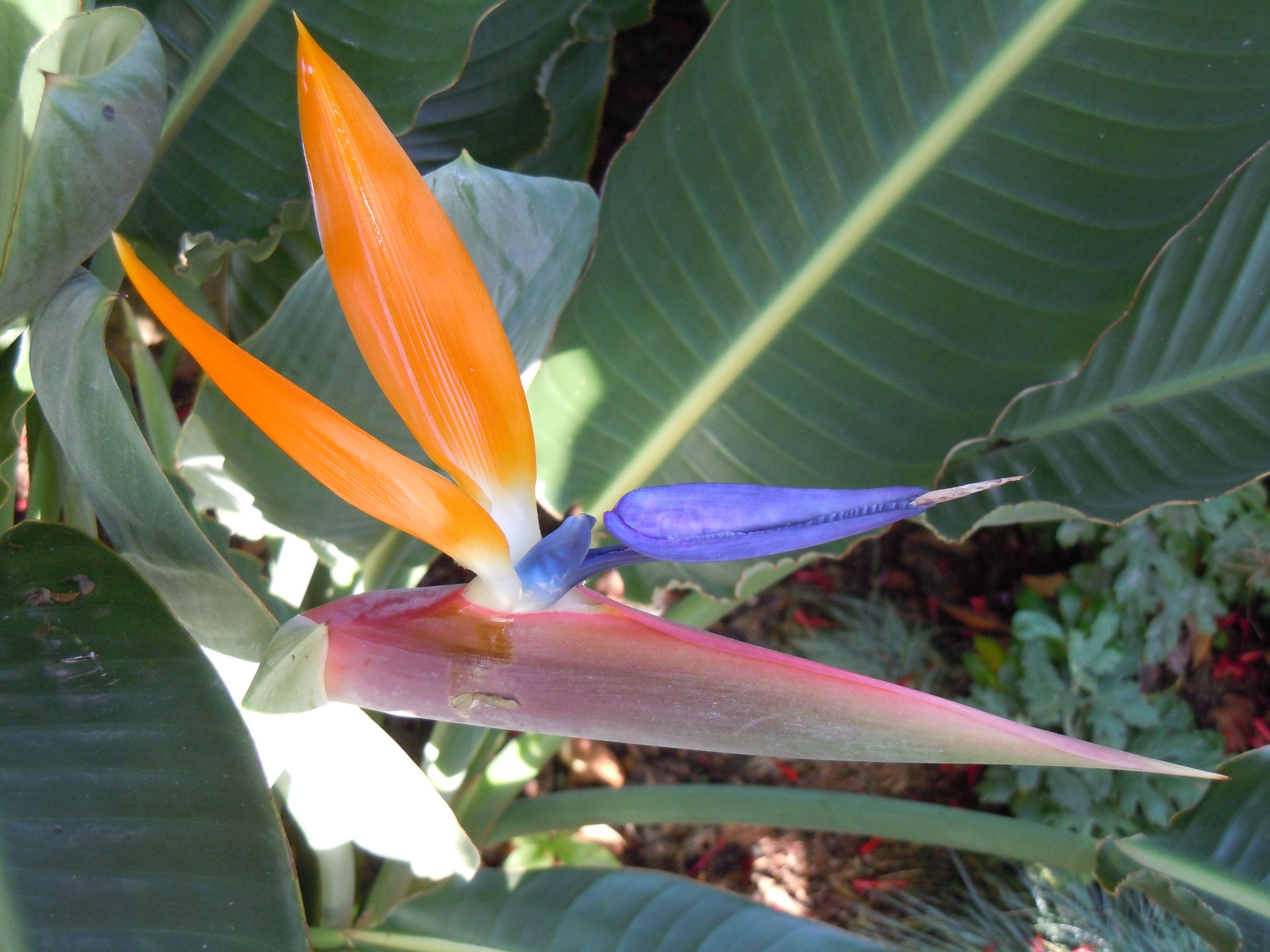 Madeira Plant Leaves Plants Flowers
