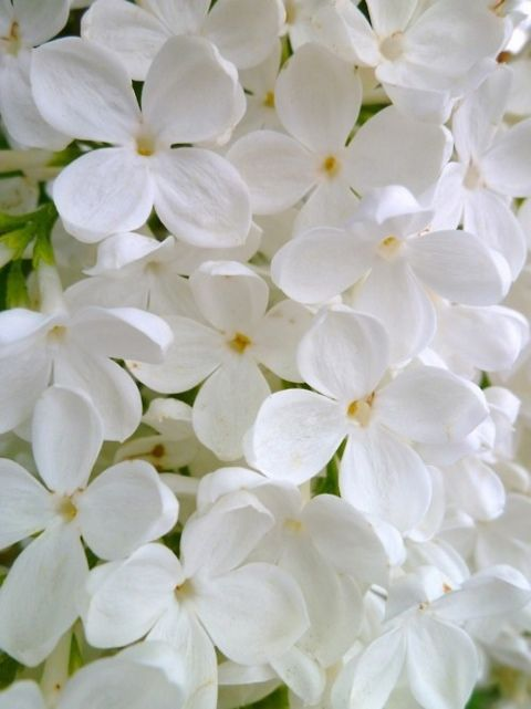 white flowers | Tumblr