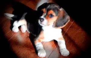 Beagle Puppies For Sale In Wisconsin Cute Puppies Beagle Puppy Pocket Beagle Puppies Pocket Beagle