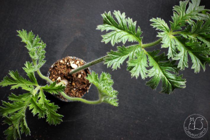 Oravankesäpesä | Pelargonium x schottii