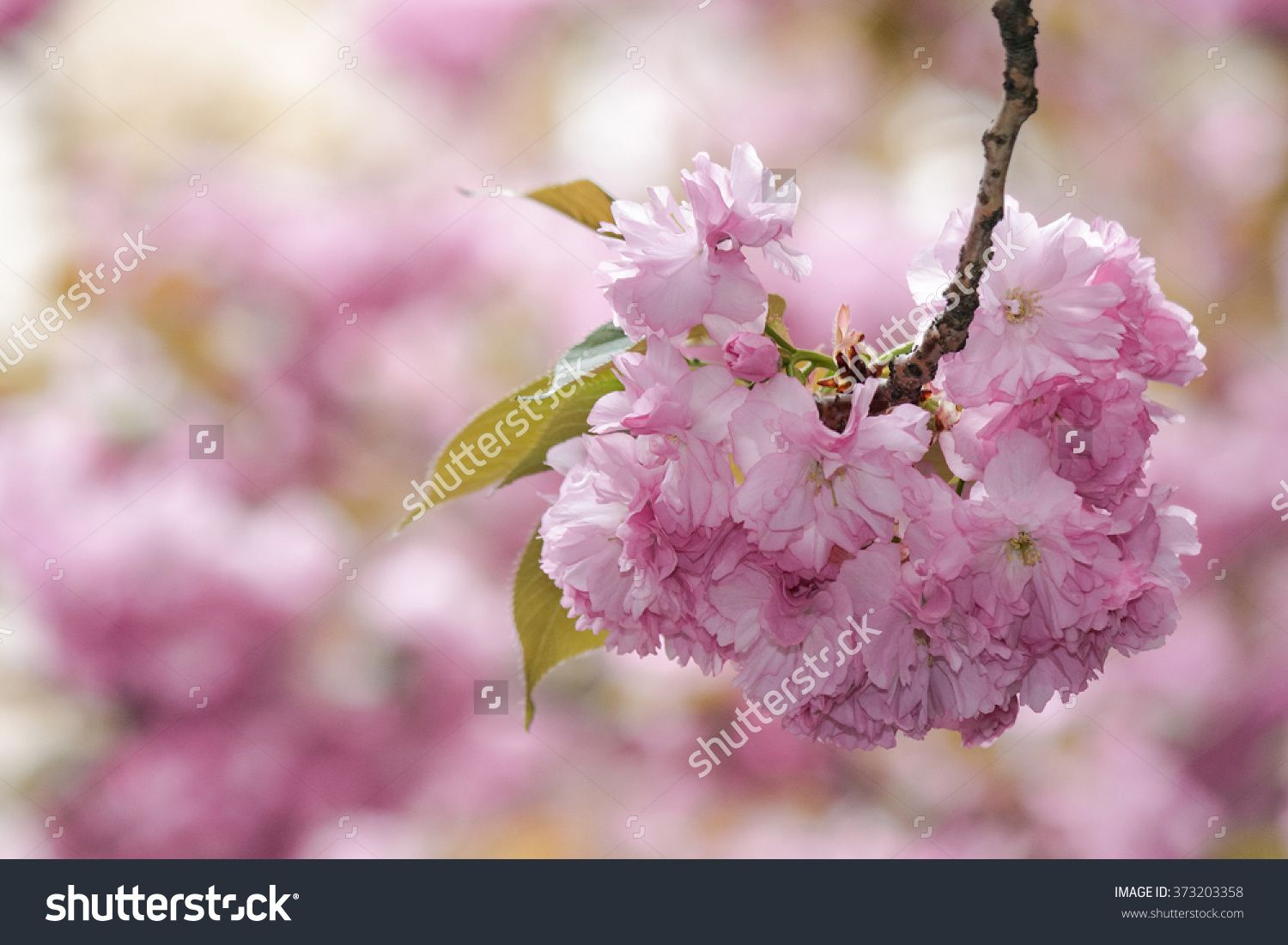 Delicate Pink Flowers Blossomed Japanese Cherry Trees Fresh