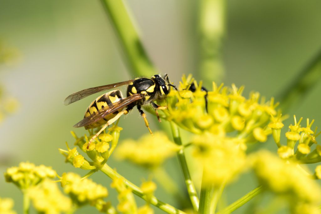What Attracts Wasps to Your Home, Yard, and Pool Area