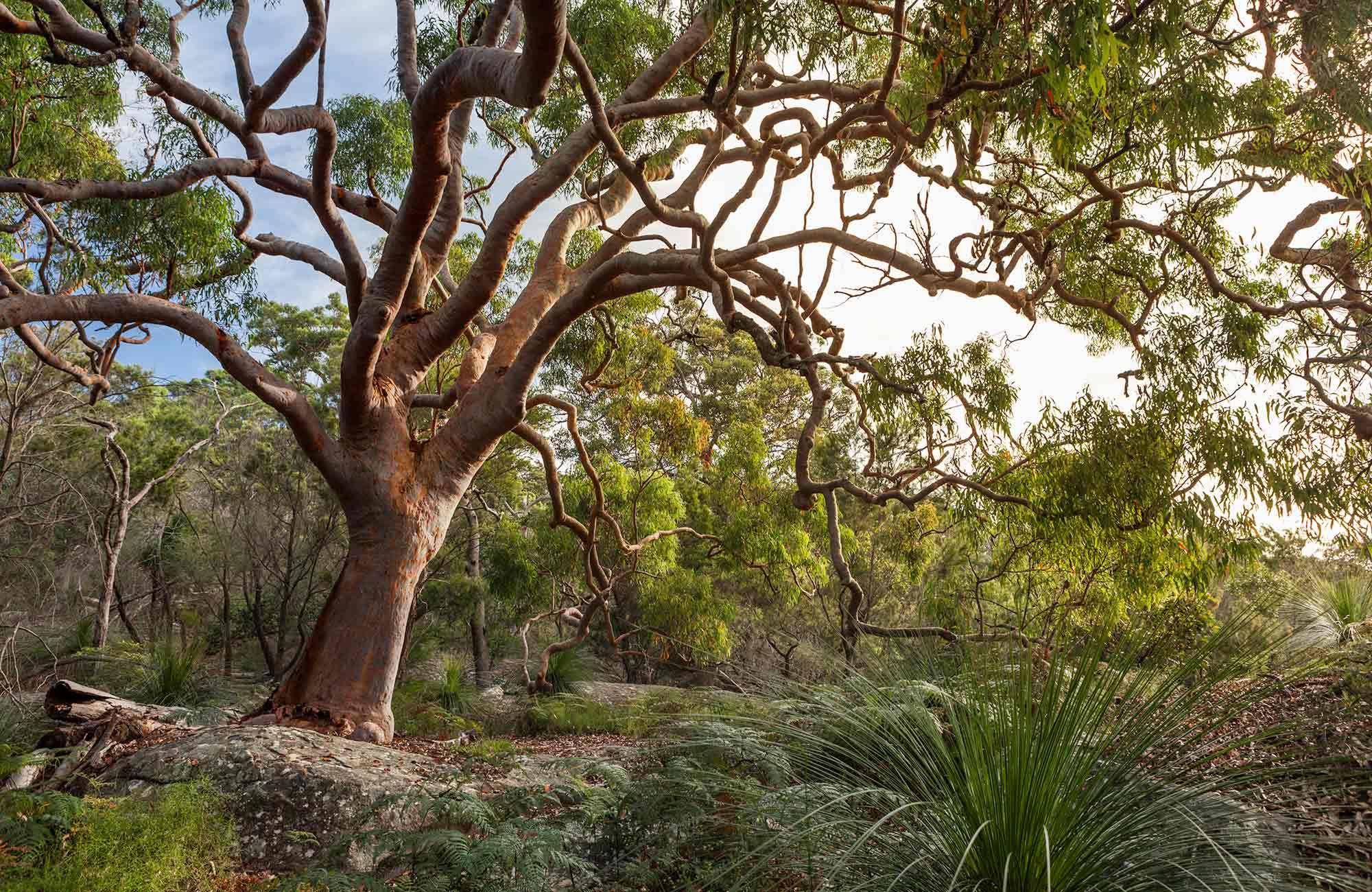 Image result for gumtree Flowering trees, Tree, Tree drawing