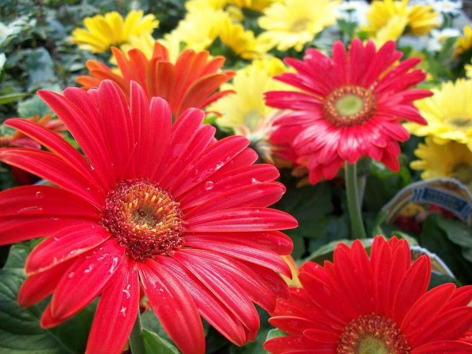 Poster & Download: Blumen Rot Gelb Natur Beauty farbe Pflanze Kategorien: landschaften, flowers, red, yellow, nature, beauty, color, plant, environment, floral, garden, natural, leaf, freshness, closeup, texture