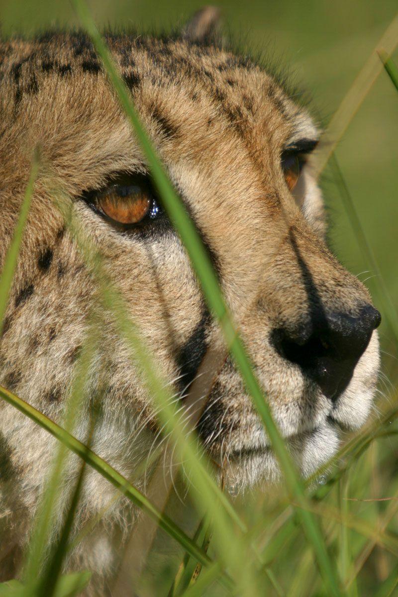 Northwest African Cheetah AKA Saharan Cheetah, critically
