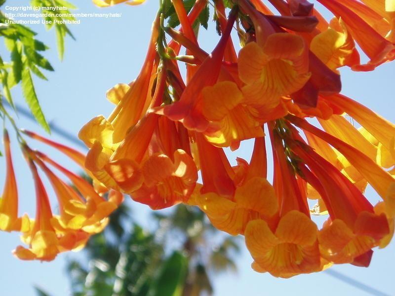 Huge Heavy Cers Of Flowers That Bend Their Branches Orange Esperanza