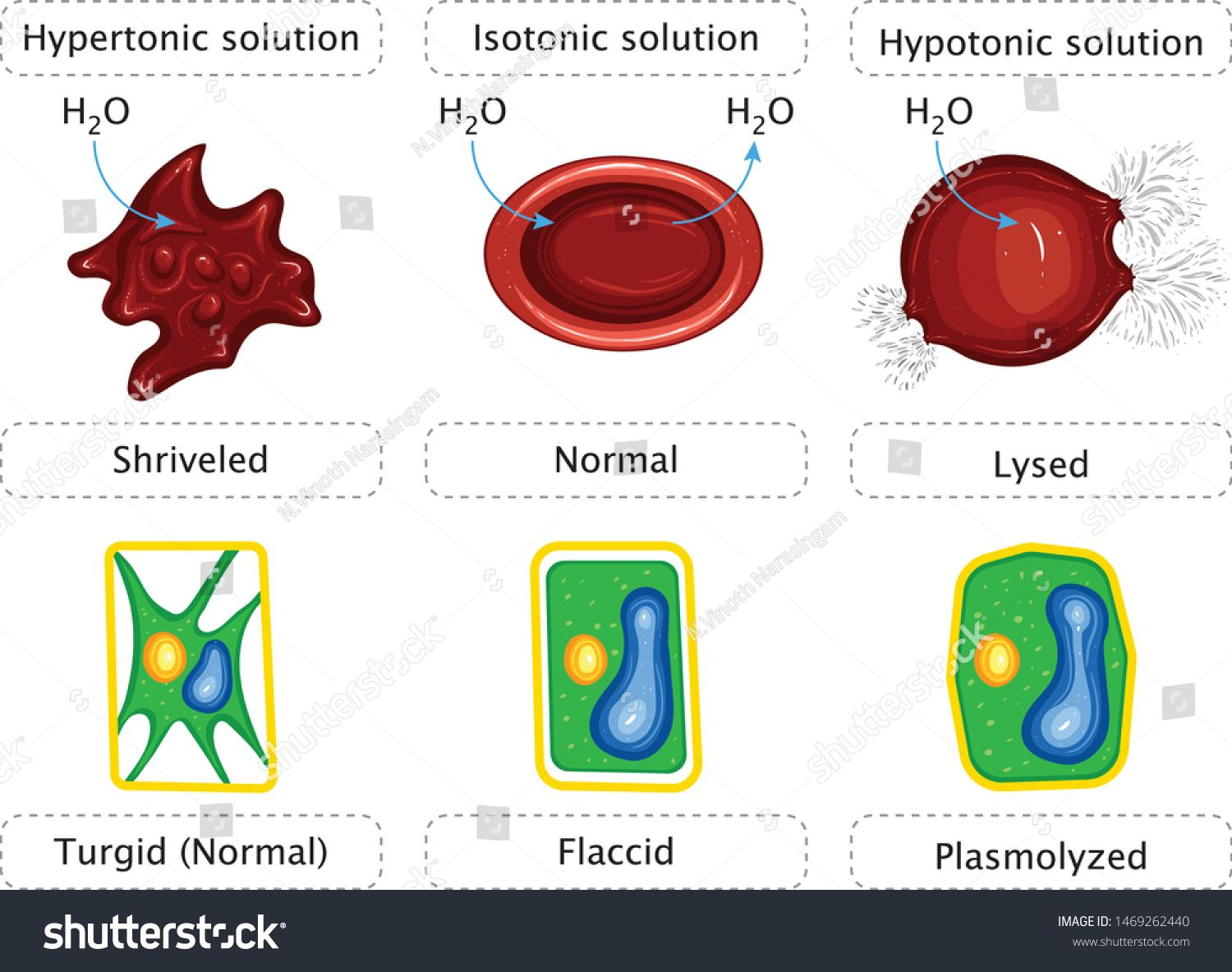 Tonicity And Animal Red Blood Cells And Plant Cells