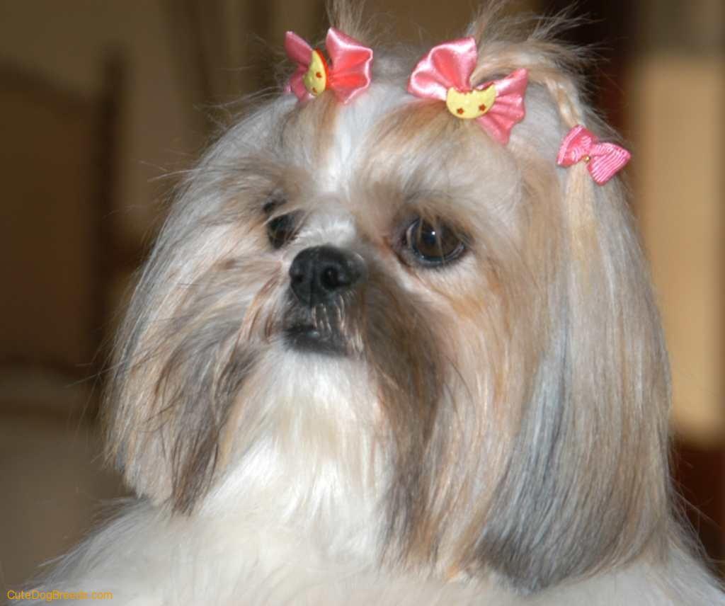 A Shih Tzu Dog Download Small Dogs Picture Shih Tzu Dog Shihtzu
