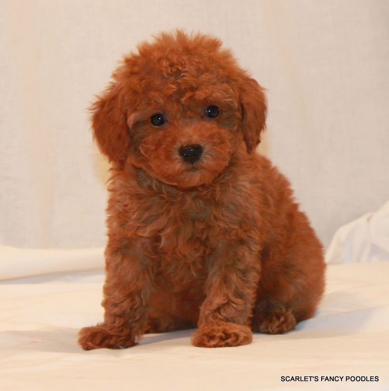 Sheba S Female Scarlet S Fancy Poodles California Akc And Ukc