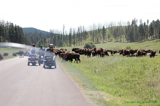 Image result for black hills custer state park buffalo