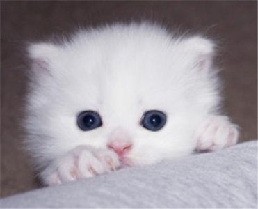 Persian Kittens Available For Adoption From Wonderful Care Taking Home Th With Images Angora Cats Kittens Teacup Kitten