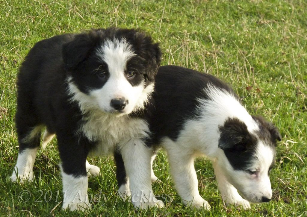 Welsh Sheepdog Ci Defaid Cymreig Welsh Collie Dog Collie