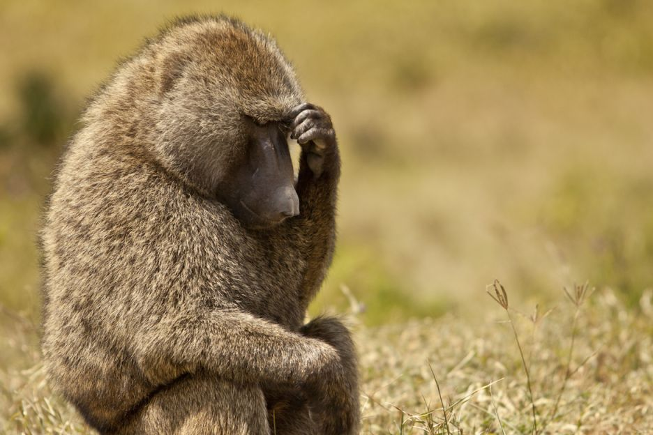 Image result for thinking olive baboon