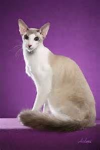 Red Balinese Cat - Bing images