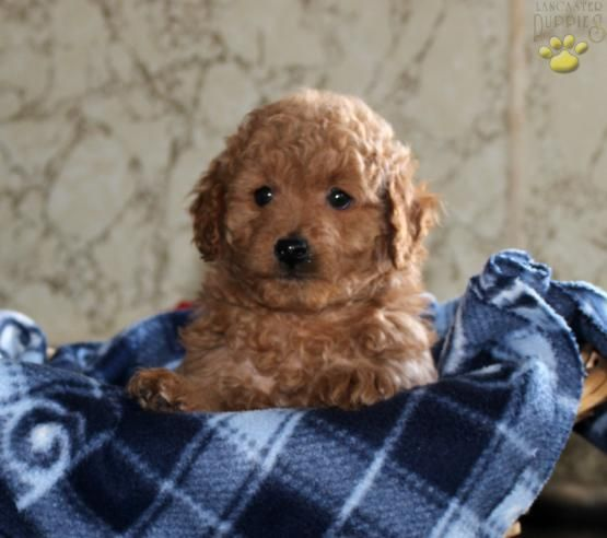 Clyde Mini Goldendoodle Puppy For Sale In Coatesville Pa