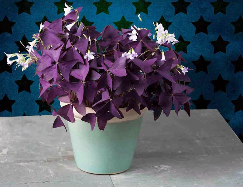 "Picture of Live Shamrock Purple aka Oxalis regnellii Plant Fit 4.5"" Pot"