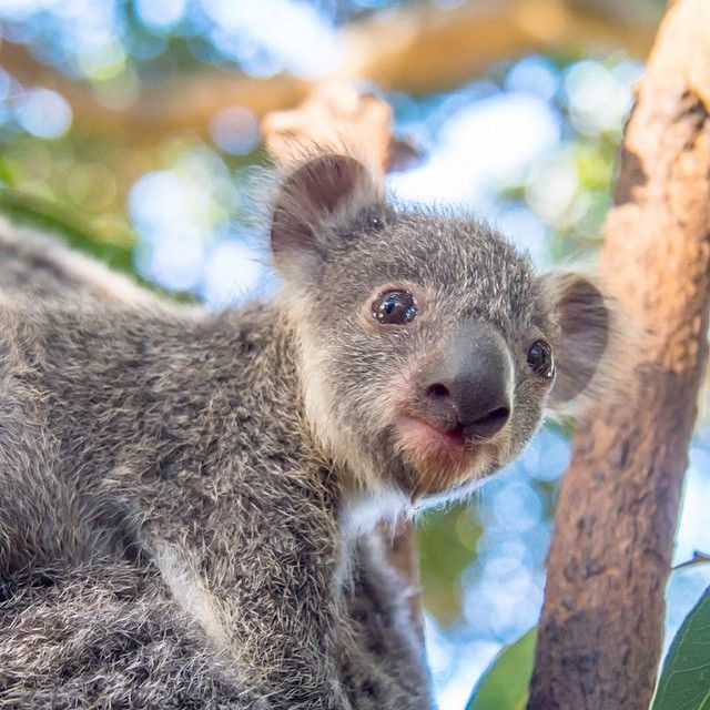 This Baby Koala Is Cute Level 100 What A Sweet Heart