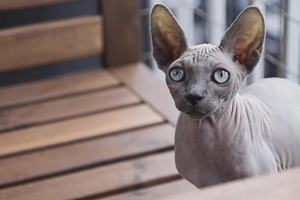 Sphynx cat care How to care for a hairless cat Sphynx