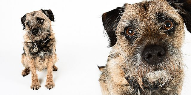 Ernie The Border Terrier By Claire Sutton Images Border Terrier