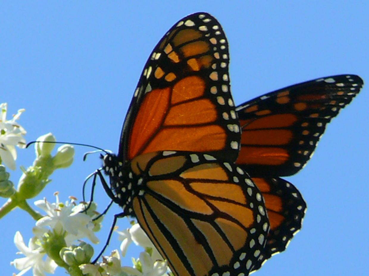 Butterfly Store Monarch butterfly migration, Monarch