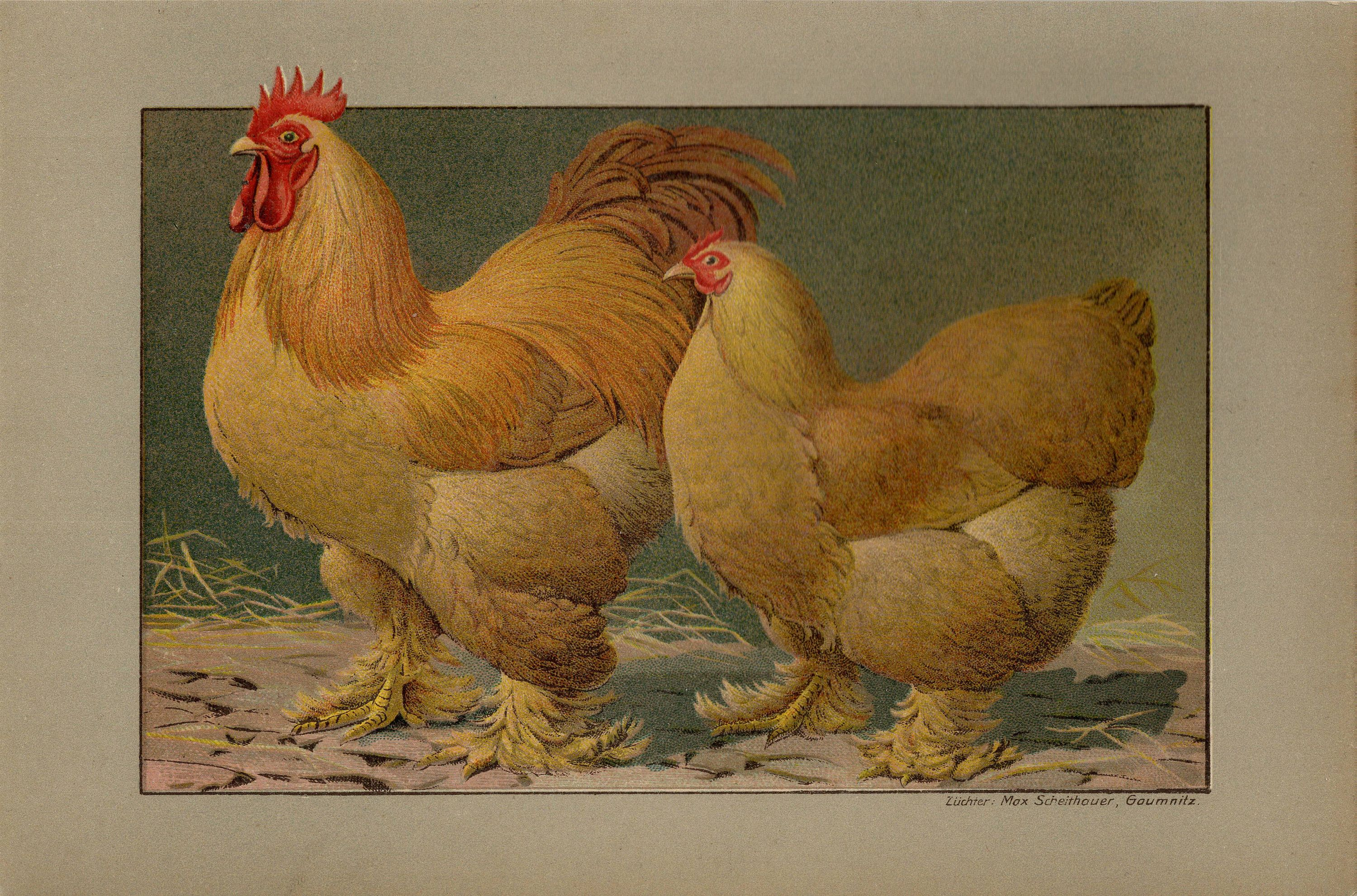 Chicken breed poster by Rudolf Kramer Chicken Wall Art Print Vintage Poultry Poster Farm House Decor