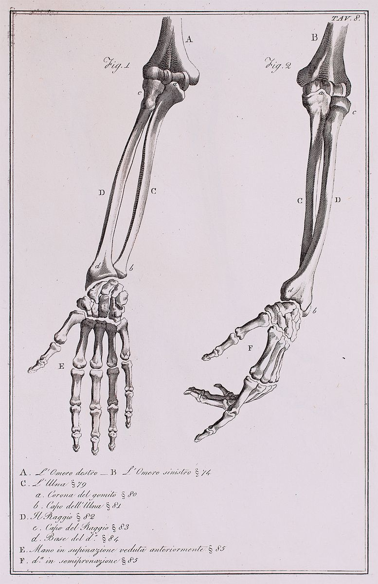 anatomical diagram of the bones of the right and left hand forearm and elbow [ 777 x 1200 Pixel ]