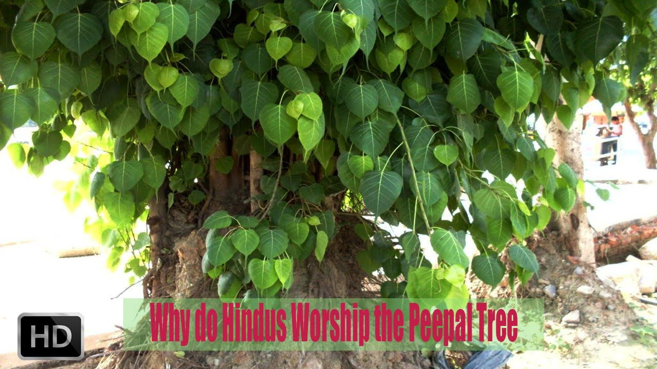 Unthinkable House Plant Tree. Why Do Hindus Worship The Peepal Tree  Hinduism Culture Scientific Be