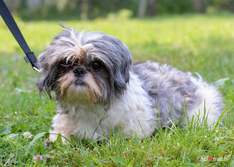 Havarti a female shih tzu available for adoption from
