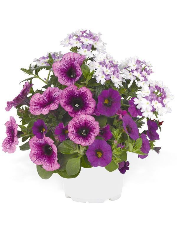 Confetti Shocking Purple - Viherpeukalot 2016