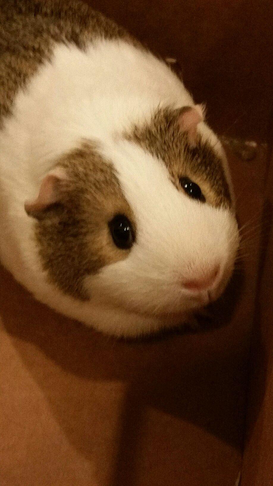 Pin de Deborah White en Guinea Pigs!!! | Pinterest | Cobaya, Indio y ...