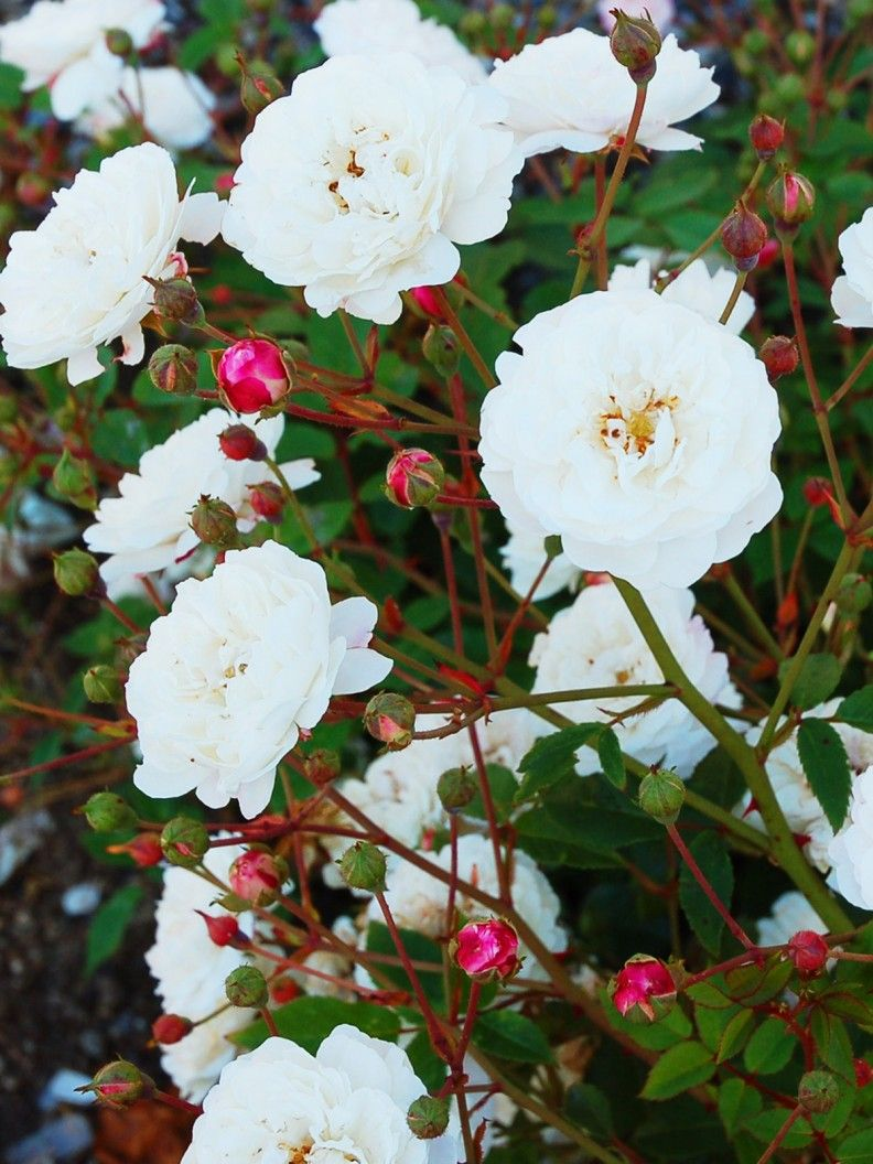 Rosa sempervirens uWhite Petu Gammaldags lågväxande buskros