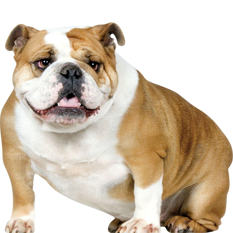 bulldog american bulldog french bulldog bulldog puppies