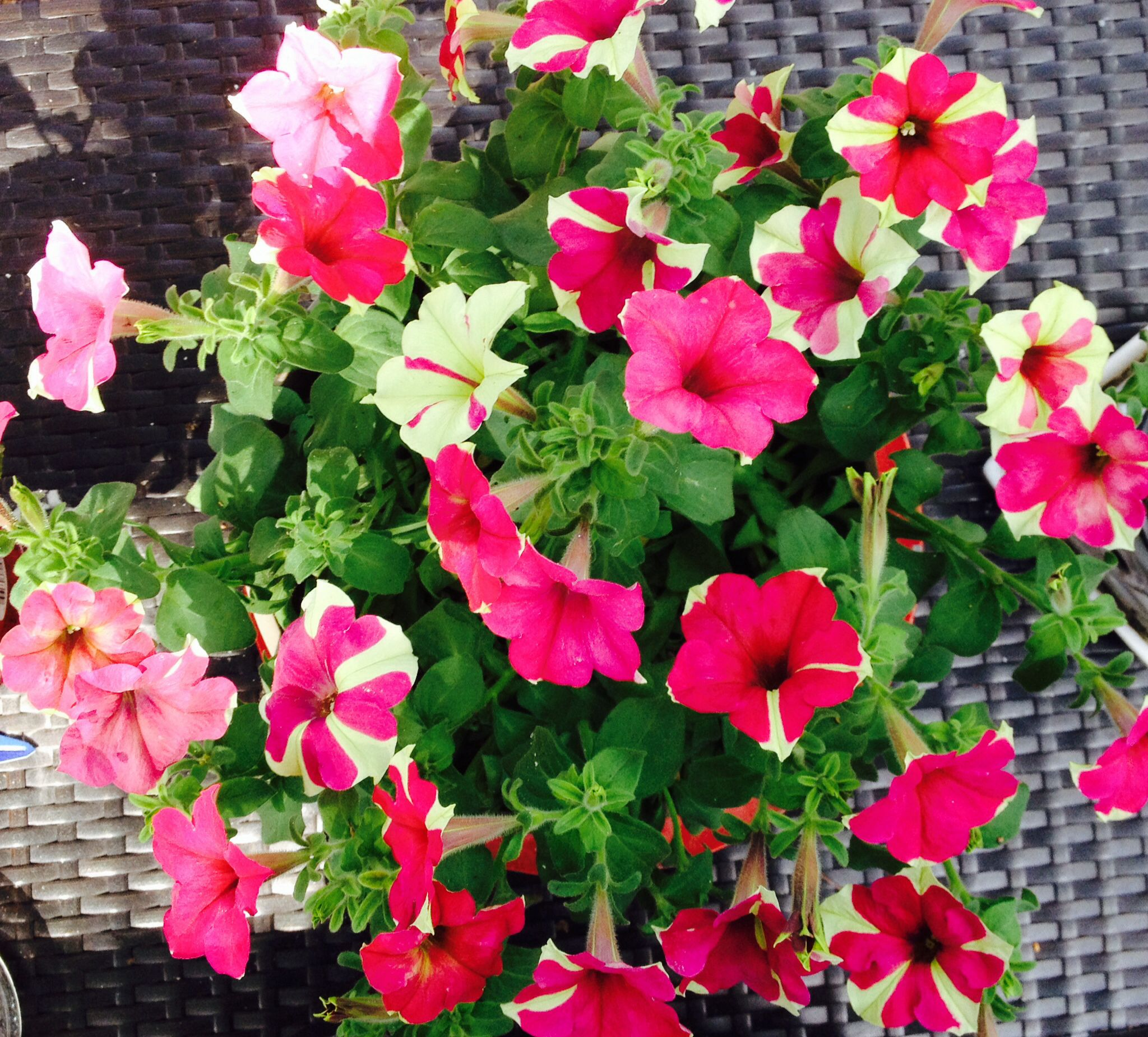 My Mother S Day Petunias Still Alive And Thriving Garden