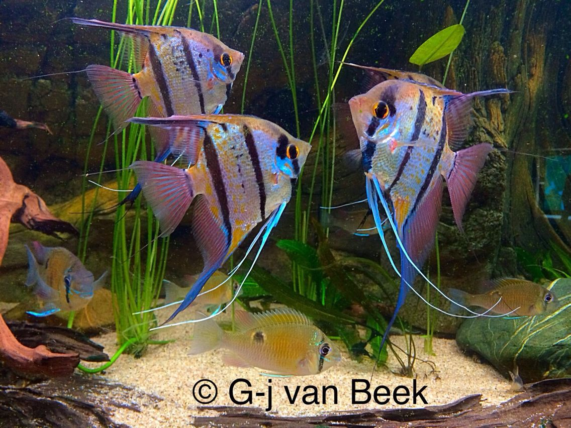 Freshwater aquarium fish angelfish - Peruvian Angelfish Angel Fish Freshwaterfreshwater Aquariumfish