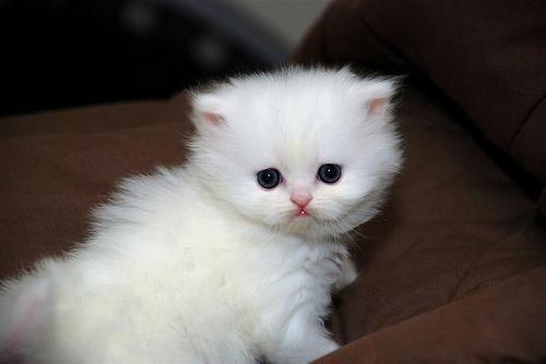 Teacup Persian Kitten Persian Kittens Teacup Persian Kittens Kitten Adoption